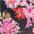 blümchen-schwarz-rosa